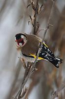 Stieglitz, Distelfink, frisst an Samenständen von Nachtkerze, Carduelis carduelis, European goldfinch