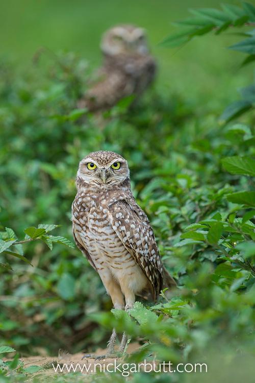 Burrowing owls (Athene cunicularia) outside burrow, Hato La Aurora Reserve, Los Llanos, Colombia, South America.