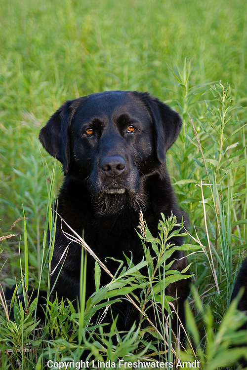 Black Labrador retriever (AKC) sitting in a summer field.  Winter, WI.