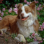 Australian Shepherd laying in a bed of spring flowers