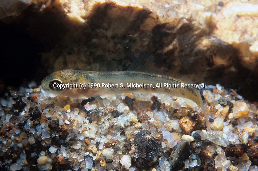 Atlantic Salmon fry in Souhegan River, New Hampshire