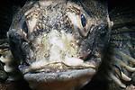 Longhorn Sculpin close-up of face