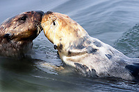 A female sea otter (Enhydra lutris nereis) is sniffing the nose of a male @ Moss Landing in the Monterey Bay National Marine Sanctuary.
