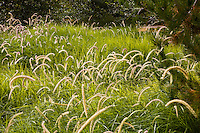 Pennisetum 'Tall Tails' in urban park  meadow garden, with flowering grass  in Jeffrey Open Space, Irvine California