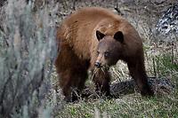 Cinnamon Black Bear, Yellowstone