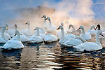 Whooper swans (Cygnus cygnus), Hokkaido, Japan<br />