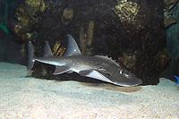Bowmouth Guitarfish (Rhina ancylostoma) (c) Also known as the Shark Ray. Photo taken at the Newport Aquarium, KY.USA