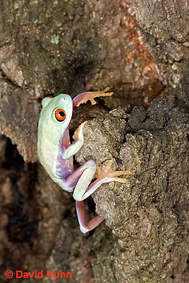 0306-0930  Red-eyed Tree Froglet (Young Frog) Climbing, Agalychnis callidryas  © David Kuhn/Dwight Kuhn Photography.