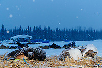 """Matt Failor's dogs """"Dio"""" (R) and """"Torrent"""" sleep on straw as a heavy snow falls in the evening at Nikolai during the 2018 Iditarod race on Tuesday March 06, 2018. <br /> <br /> Photo by Jeff Schultz/SchultzPhoto.com  (C) 2018  ALL RIGHTS RESERVED"""