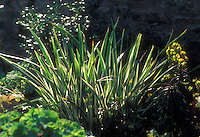 Iris foetidissima variegata in garden