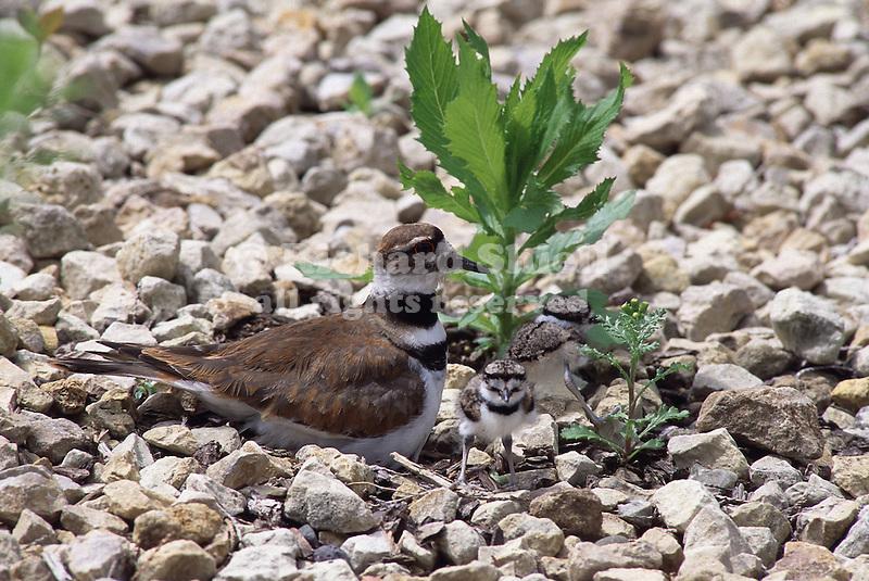 2721-FP Killdeer, two chicks, mother at nest, Charadrius vociferus vociferus, in Stillwater, MN