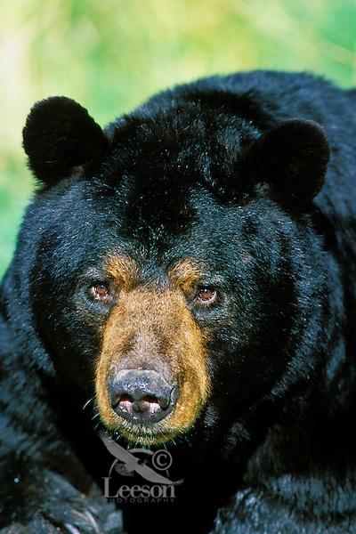 Adult black bear male (called a boar), Minnesota. Summer.
