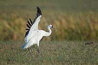 Whooping Crane lands in field.