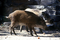 Animali.Animals.Cinghiale.Wild boar...