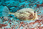 Acanthostracion polygonius, Honeycomb cowfish, Bonaire