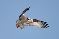 Osprey (Pandion haliaetus) hunting for fish in Tampa Bay, Fort Desoto Park, near St. Petersburg, Florida