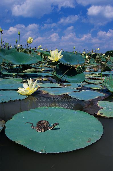 Western Cottonmouth, Agkistrodon piscivorus leucostoma, young sunning on American Lotus(Nelumbo lutea) lily pad, Welder Wildlife Refuge, Sinton, Texas, USA, June 2005