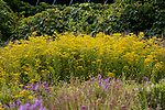 Sweet goldenrod wide shot with many plants