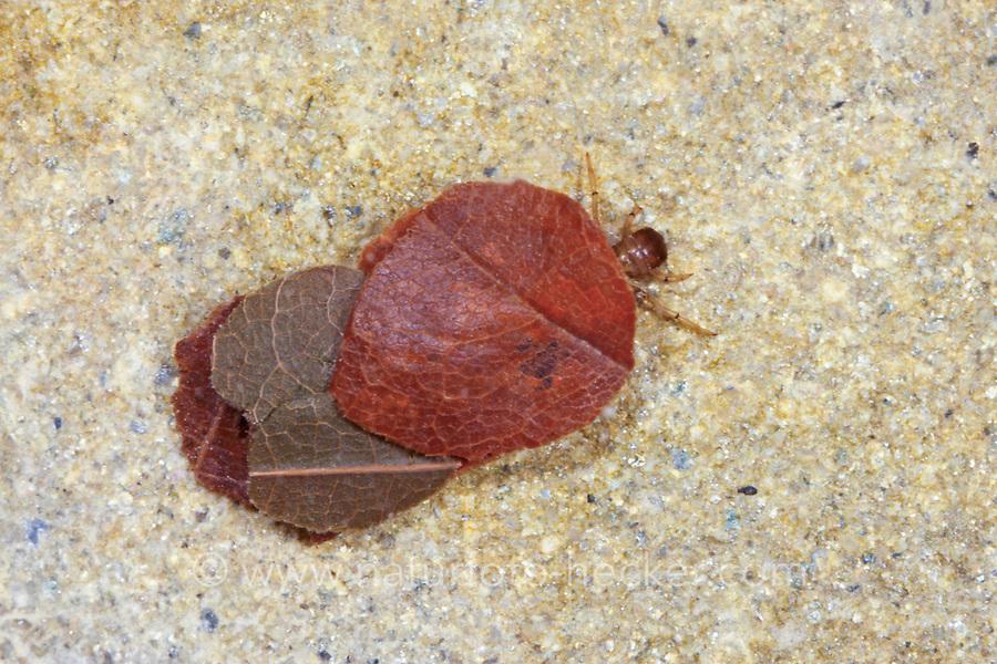 Köcherfliege, Larve in ihrem Köcher, Glyphotaelius pellucidus, Köcherfliegen, caddisfly, larva, sedge-fly, rail-fly, caddisflies, sedge-flies, rail-flies, Trichoptera