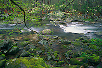 Flowering dogwood<br /> Big Creek<br /> Great Smoky Mountains National Park<br /> North Carolina