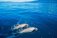 Hector's dolphins, Cephalorhynchus hectori ( endangered ), Kaikoura, New Zealand, Pacific Ocean