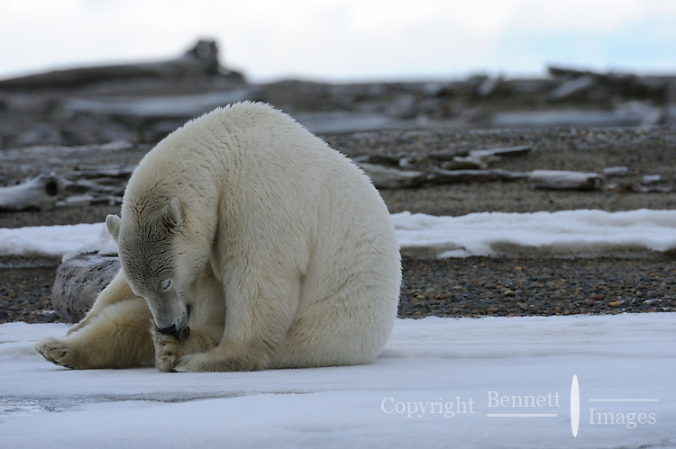 A polar bear licks a paw on a barrier island outside Kaktovik, Alaska. Every fall, polar bears gather near the community, on the northern edge of ANWR, waiting for the Arctic Ocean to freeze. The bears have become a symbol of global warming.