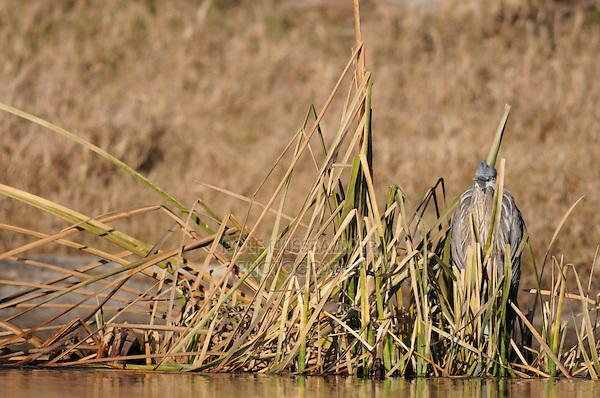 Great Blue Heron (Ardea herodias), immature camouflaged in reeds, Dinero, Lake Corpus Christi, South Texas, USA