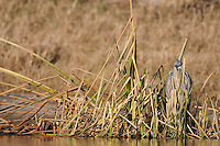 Great Blue Heron (Ardea herodias), immature camouflaged in reeds, Dinero, Lake Corpus Christi, South Texas, USA