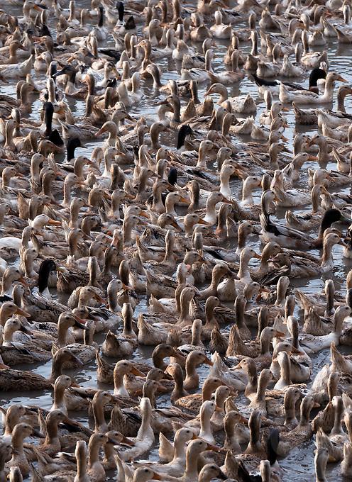 Thousands of Ducks, Chau Doc, Vietnam