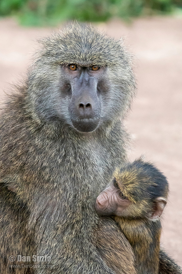 A female Olive Baboon, Papio anubis, holds her baby in Ngorongoro Crater, Ngorongoro Conservation Area, Tanzania