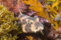 horn shark, Heterodontus francisci, juvenile, Anacapa Island, Channel Islands National Marine Sanctuary, California, USA, Pacific Ocean