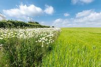 Barkley in ear with field margin - Lincolnshire, June