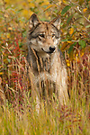 A gray wolf sits in the tall grass in Denali National Park, Alaska.