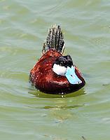 Male ruddy duck in breeding plumage
