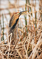 American Bittern eating snake with tip of snake's tail showing from beak