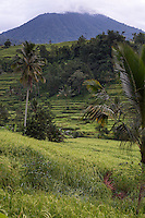 Jatiluwih, Bali, Indonesia.  Terraced Rice Paddies.  Coconut Palm in Middle Distance.