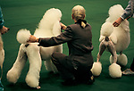 Crufts Dog Show 1990s National exhibition Centre Birmingham UK. Standard White Poodle in ring being shown shown Competitive hobby