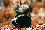 Striped skunk in fall color, Minnesota