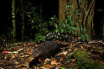 Marsh Mongoose (Atilax paludinosus) in rainforest at night, Kibale National Park, western Uganda