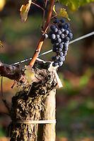 grape bunch and old vine chateau fieuzal pessac leognan graves bordeaux france