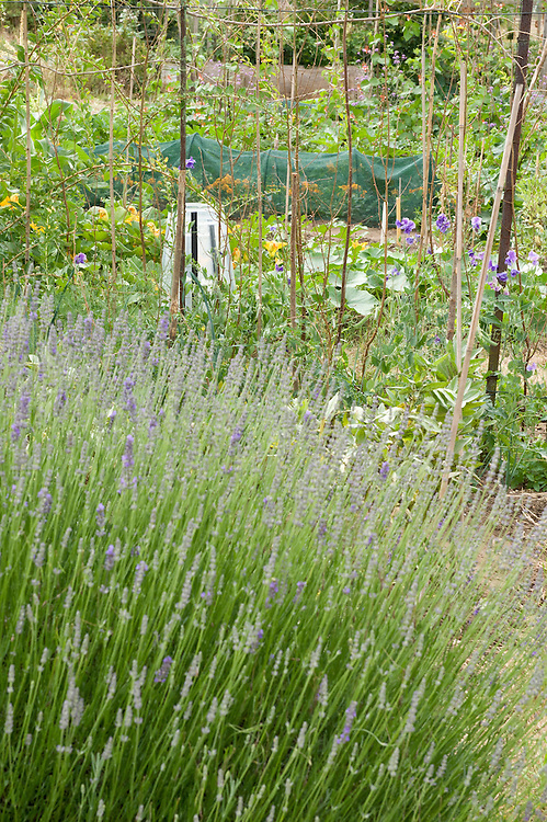 Lavender bush in the foreground of an allotment plot, mid July.