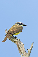 530080002 a wild boat-billed flycatcher megarynchus pitangua perches on a dead tree limb on a ranch in tamaulipas state in northeastern mexico