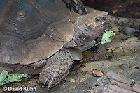 0218-1105  Asian Forest Tortoise (Burmese Black Tortoise), Found Northeast Taiwan to India, Manouria emys phayrei  © David Kuhn/Dwight Kuhn Photography