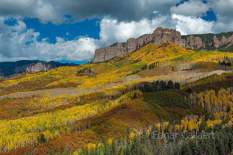 Aspens, Populus Tremula, Cimarron Ridge, Uncompahgre National Forest, Colorado