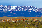 Guanaco (Lama guanicoe) female herd and mountains, Torres del Paine National Park, Patagonia, Chile