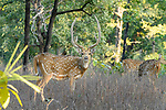 Male spotted deer or chital (Axis axis). Bandhavgarh National Park, Madhya Pradesh, Central India.