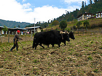 Using oxen to plow a field in the rural Bhutan.