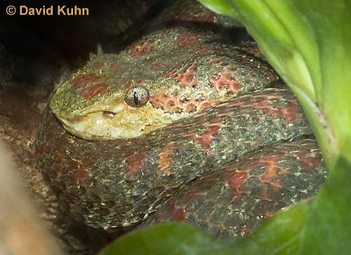 0426-1102  Eyelash Viper, Coiled up in Tree, Central America and South America, Bothriechis schlegelii  © David Kuhn/Dwight Kuhn Photography
