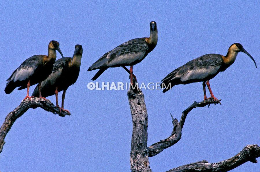 Animais. aves. Curicacas (Theristicus caudatus). Pantanal. Foto de Juca Martins.