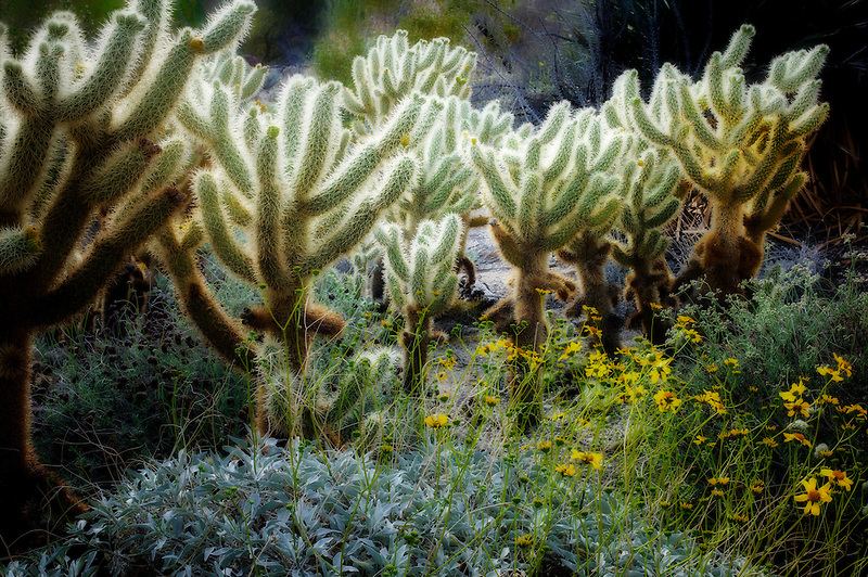 Cholla cactus and Brittle Bush. The Living Desert. Palm Desert, California